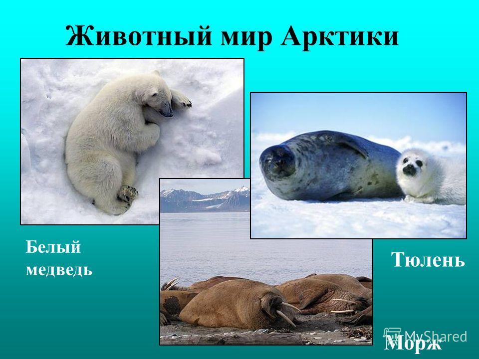 Животный мир Арктики Белый медведь Тюлень Морж