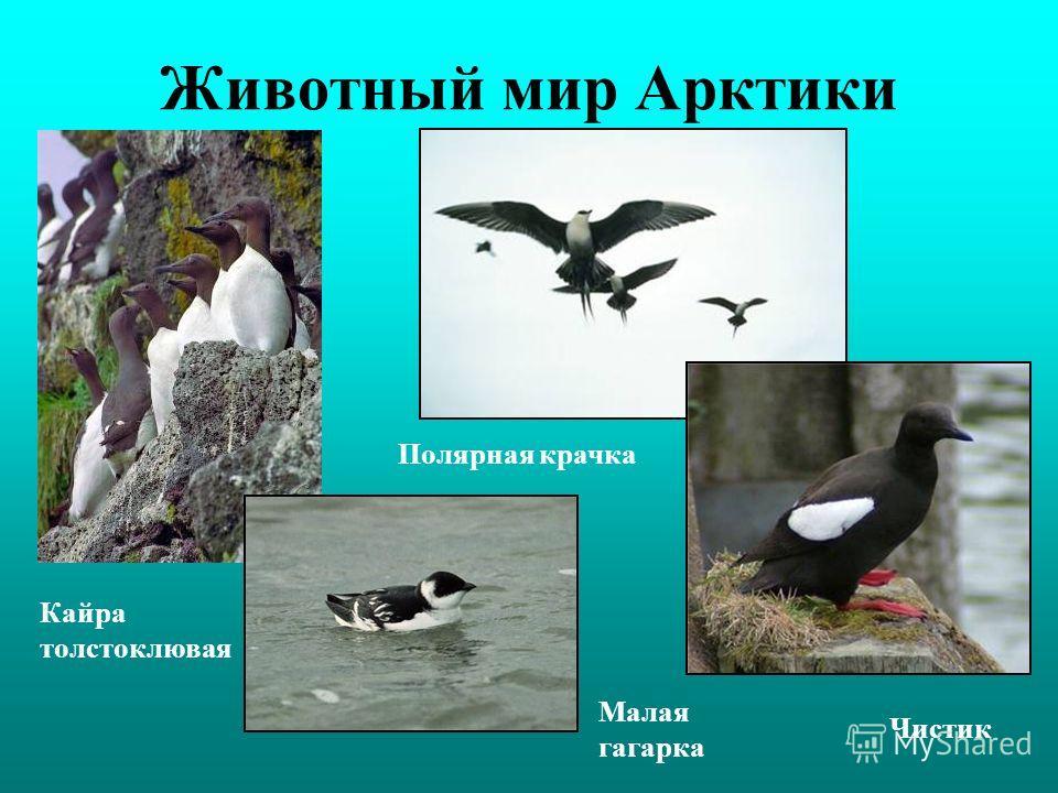 Животный мир Арктики Малая гагарка Кайра толстоклювая Полярная крачка Чистик
