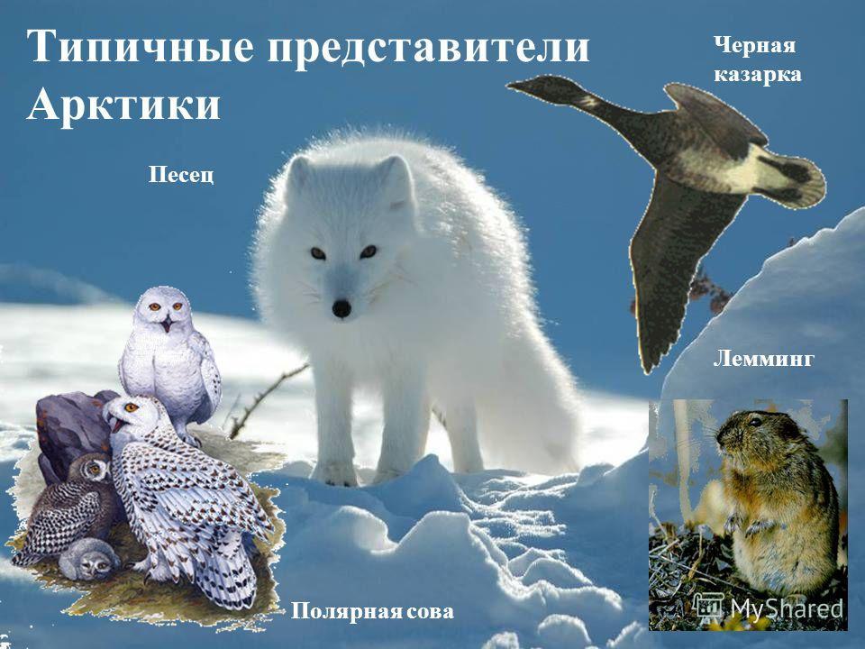Типичные представители Арктики Черная казарка Полярная сова Песец Лемминг