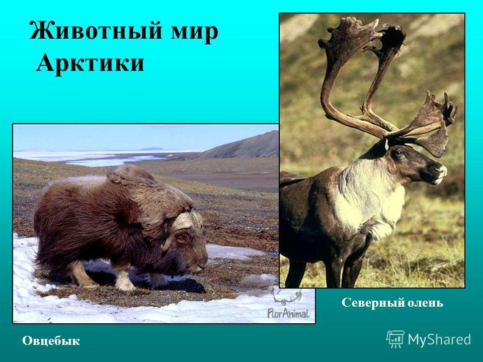 Животный мир Арктики Овцебык Северный олень