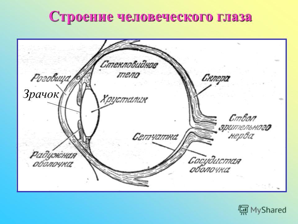 Строение человеческого глаза Зрачок