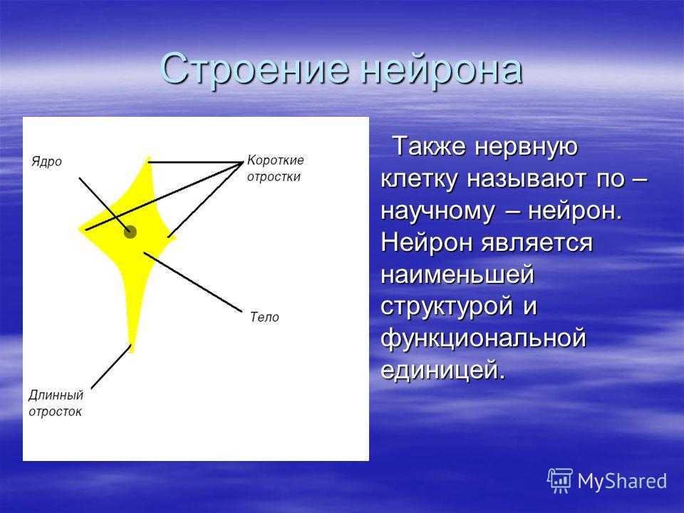 Строение нейрона Также нервную клетку называют по – научному – нейрон. Нейрон является наименьшей структурой и функциональной единицей. Также нервную клетку называют по – научному – нейрон. Нейрон является наименьшей структурой и функциональной едини