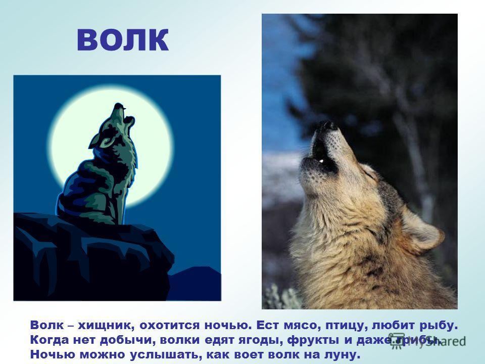 ВОЛК Специального дома у волка нет, они могут жить в расщелине скалы или зарослях кустарника, но когда они выводят потомство устраивают логово.