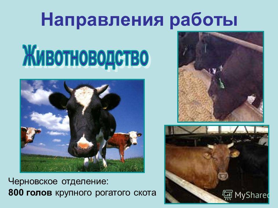 Направления работы Черновское отделение: 800 голов крупного рогатого скота