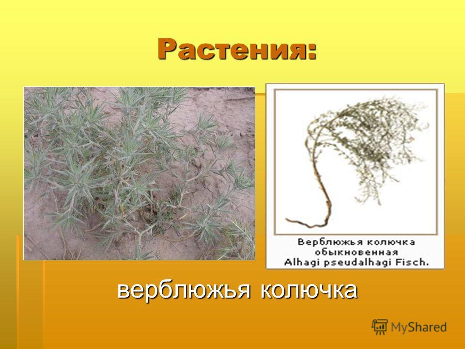 Карточка – помогайка. 1.Общая особенность растений. 2. Приспособленность животных пустыни к природным условиям : окраска, образ жизни.