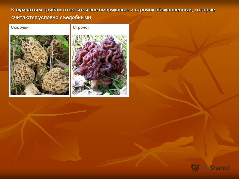 К сумчатым грибам относятся все сморчковые и строчок обыкновенный, которые считаются условно съедобными. К сумчатым грибам относятся все сморчковые и строчок обыкновенный, которые считаются условно съедобными. СморчкиСтрочок