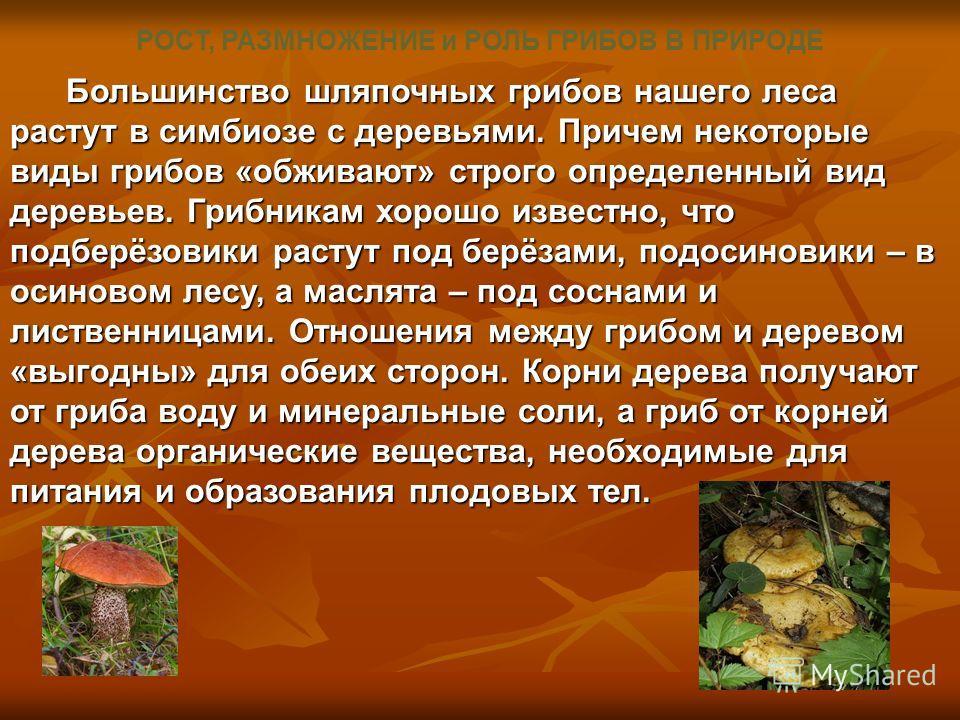РОСТ, РАЗМНОЖЕНИЕ и РОЛЬ ГРИБОВ В ПРИРОДЕ Большинство шляпочных грибов нашего леса растут в симбиозе с деревьями. Причем некоторые виды грибов «обживают» строго определенный вид деревьев. Грибникам хорошо известно, что подберёзовики растут под берёза