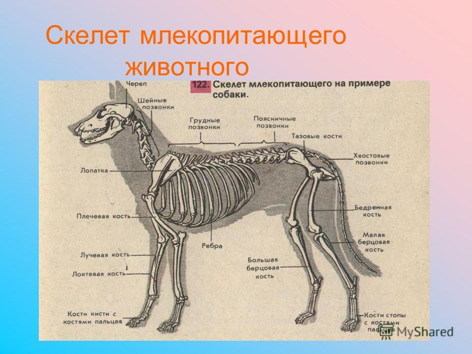 Скелет млекопитающего животного