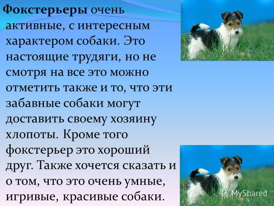 Фокстерьеры очень активные, с интересным характером собаки. Это настоящие трудяги, но не смотря на все это можно отметить также и то, что эти забавные собаки могут доставить своему хозяину хлопоты. Кроме того фокстерьер это хороший друг. Также хочетс
