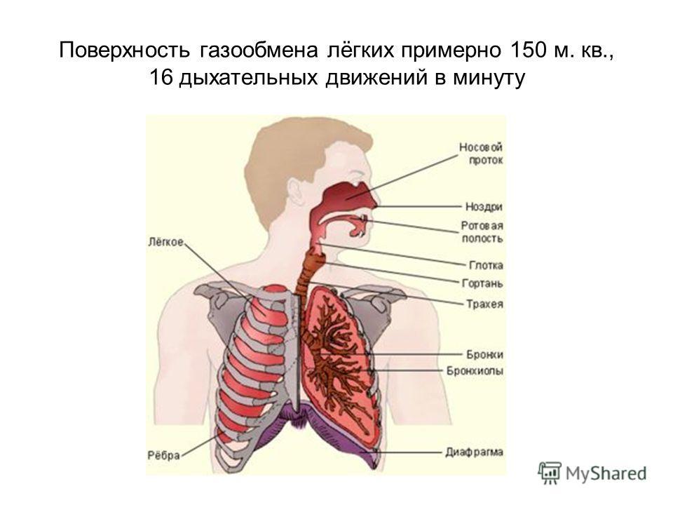 Поверхность газообмена лёгких примерно 150 м. кв., 16 дыхательных движений в минуту