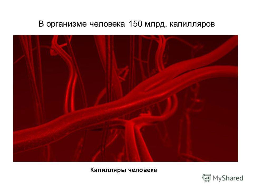 В организме человека 150 млрд. капилляров Капилляры человека