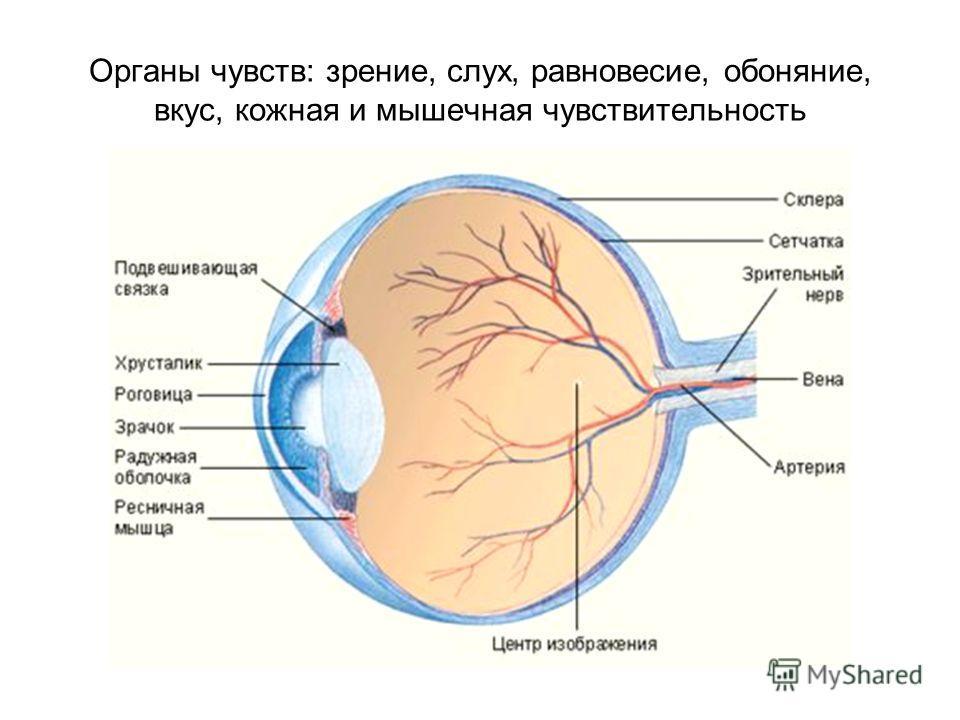 Органы чувств: зрение, слух, равновесие, обоняние, вкус, кожная и мышечная чувствительность