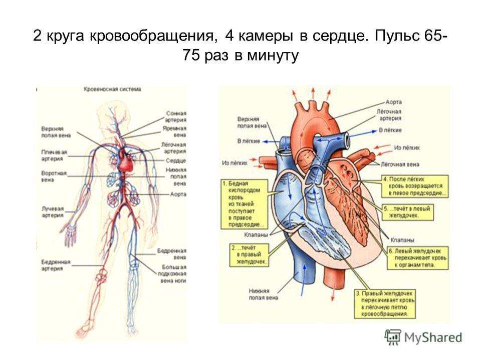 2 круга кровообращения, 4 камеры в сердце. Пульс 65- 75 раз в минуту