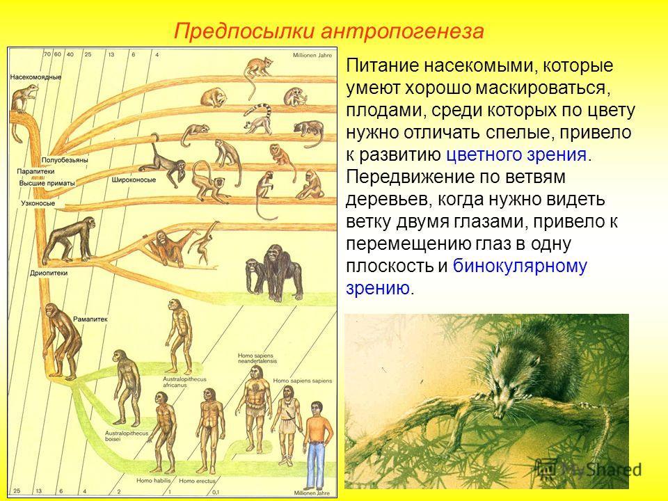 Предпосылки антропогенеза Питание насекомыми, которые умеют хорошо маскироваться, плодами, среди которых по цвету нужно отличать спелые, привело к развитию цветного зрения. Передвижение по ветвям деревьев, когда нужно видеть ветку двумя глазами, прив