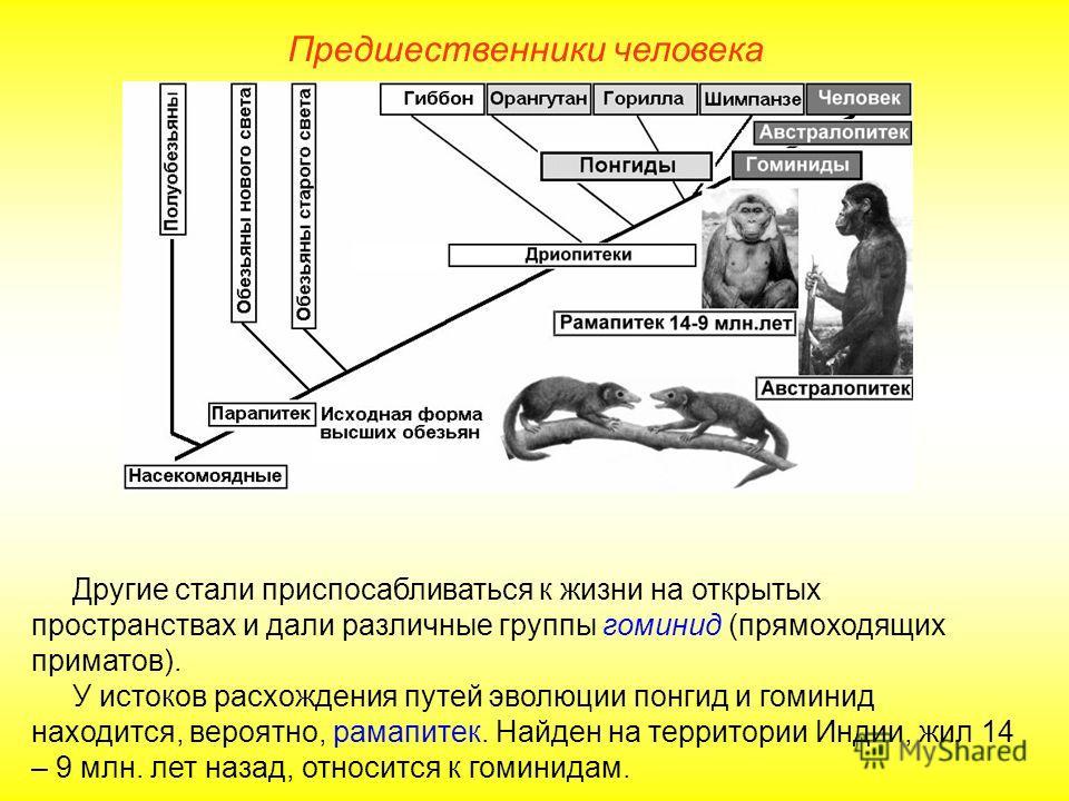 Другие стали приспосабливаться к жизни на открытых пространствах и дали различные группы гоминид (прямоходящих приматов). У истоков расхождения путей эволюции понгид и гоминид находится, вероятно, рамапитек. Найден на территории Индии, жил 14 – 9 млн