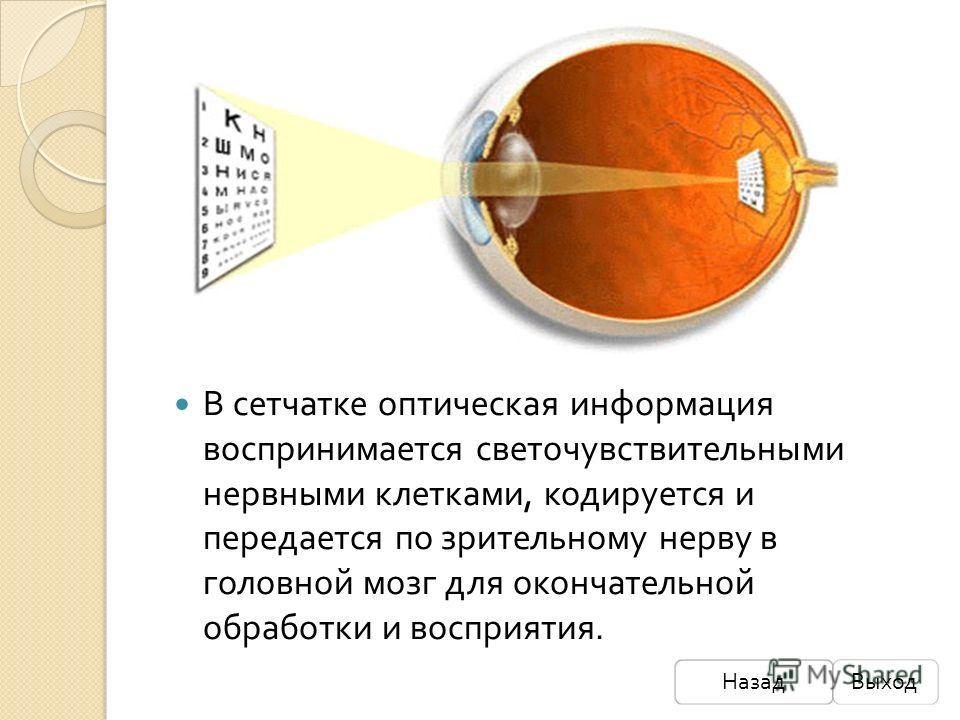 В сетчатке оптическая информация воспринимается светочувствительными нервными клетками, кодируется и передается по зрительному нерву в головной мозг для окончательной обработки и восприятия. НазадВыход