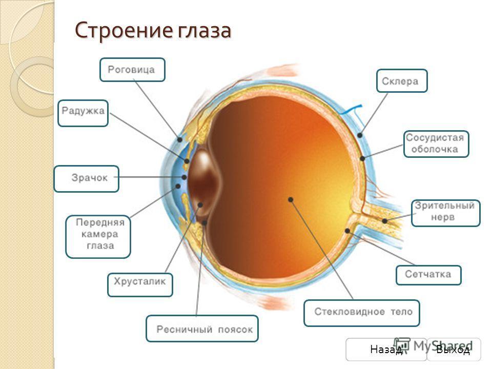 Строение глаза НазадВыход
