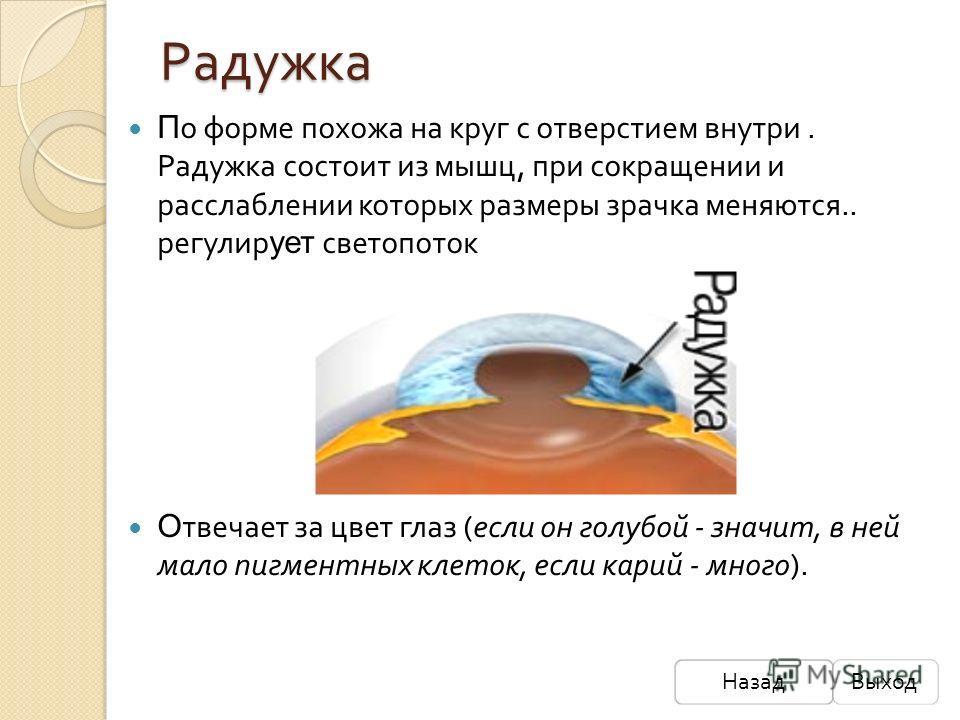 Радужка НазадВыход П о форме похожа на круг с отверстием внутри. Радужка состоит из мышц, при сокращении и расслаблении которых размеры зрачка меняются.. регулир ует светопоток О твечает за цвет глаз (если он голубой - значит, в ней мало пигментных к