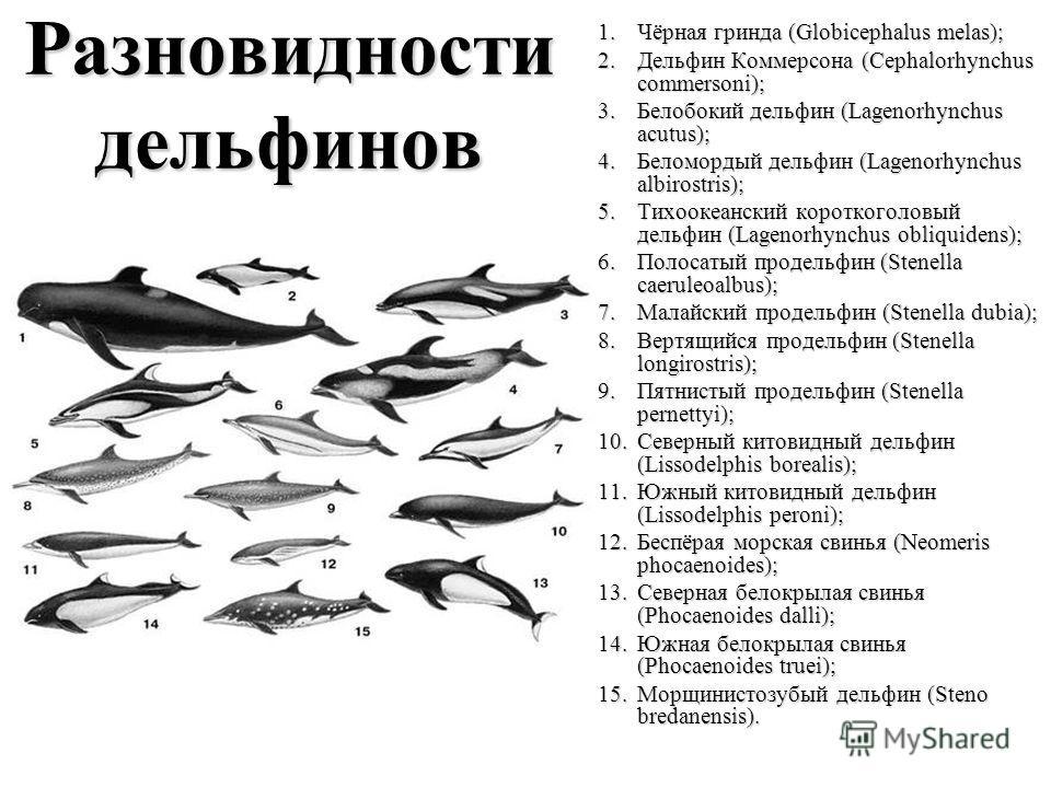Разновидности дельфинов 1.Чёрная гринда (Globicephalus melas); 2.Дельфин Коммерсона (Cephalorhynchus commersoni); 3.Белобокий дельфин (Lagenorhynchus acutus); 4.Беломордый дельфин (Lagenorhynchus albirostris); 5.Тихоокеанский короткоголовый дельфин (