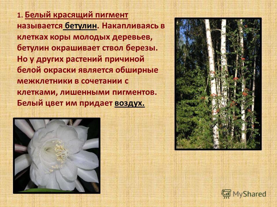 1. Белый красящий пигмент называется бетулин. Накапливаясь в клетках коры молодых деревьев, бетулин окрашивает ствол березы. Но у других растений причиной белой окраски является обширные межклетники в сочетании с клетками, лишенными пигментов. Белый