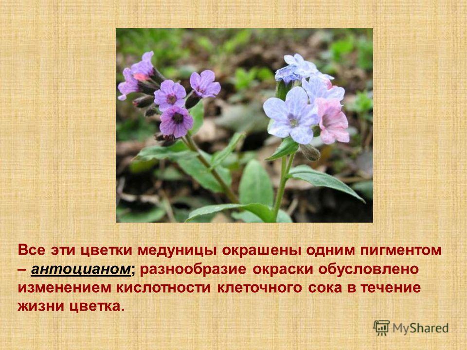 Все эти цветки медуницы окрашены одним пигментом – антоцианом; разнообразие окраски обусловлено изменением кислотности клеточного сока в течение жизни цветка.