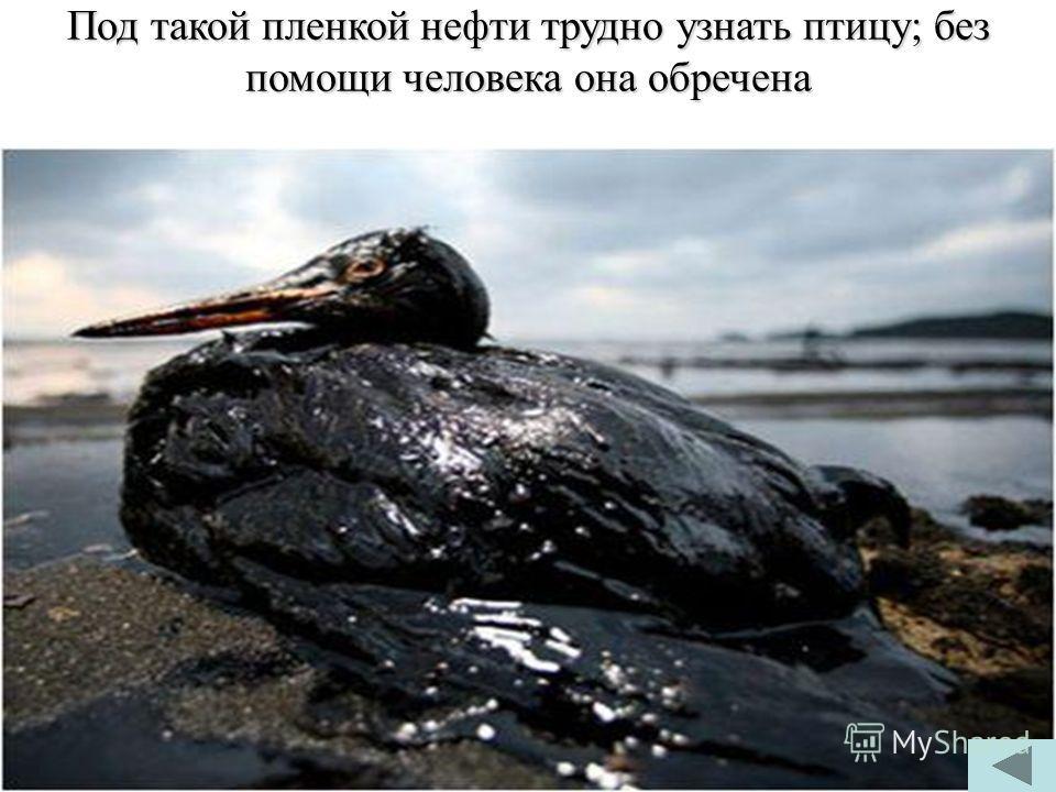 Под такой пленкой нефти трудно узнать птицу; без помощи человека она обречена