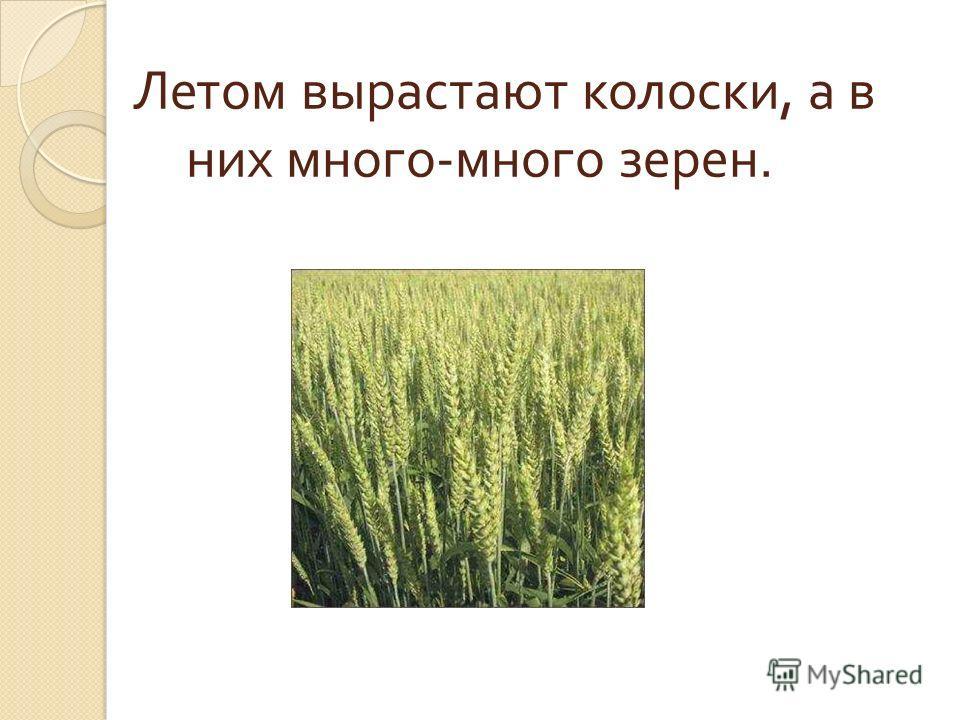 Летом вырастают колоски, а в них много - много зерен.