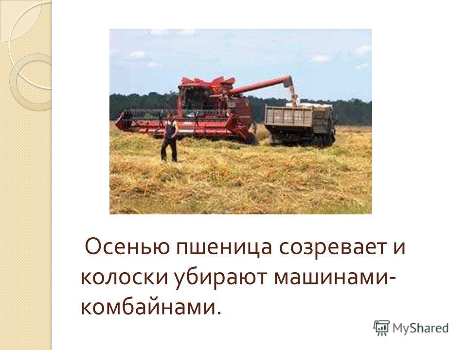 Осенью пшеница созревает и колоски убирают машинами - комбайнами.