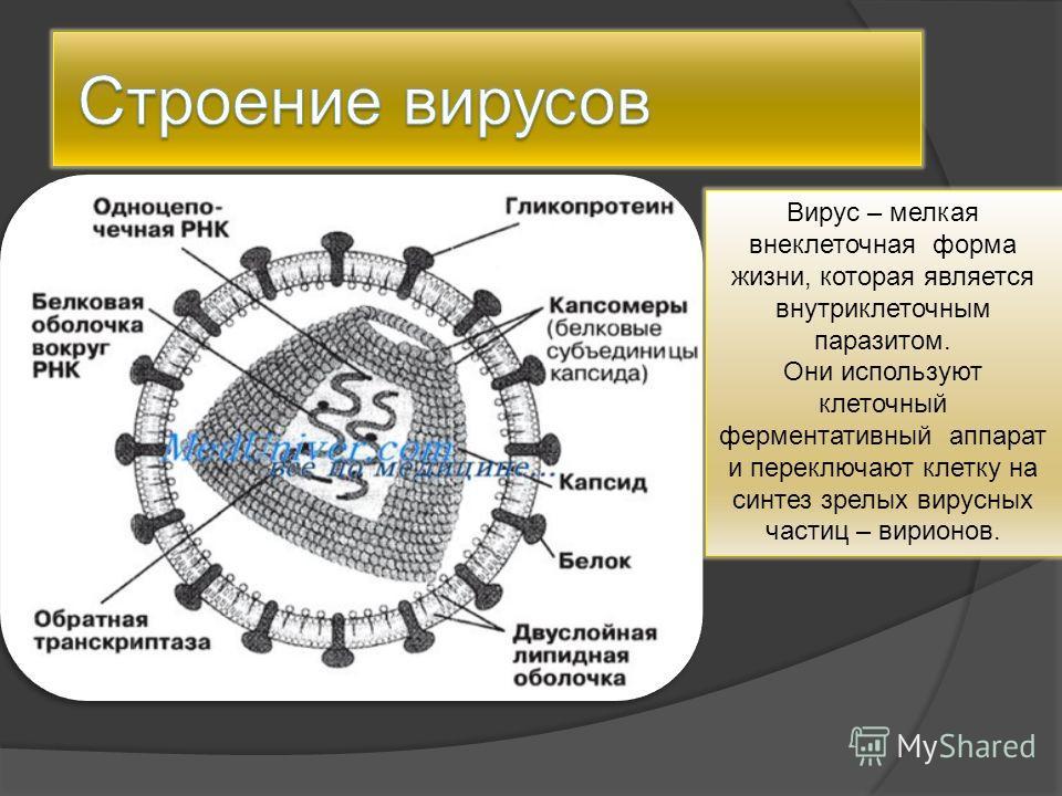 Вирус – мелкая внеклеточная форма жизни, которая является внутриклеточным паразитом. Они используют клеточный ферментативный аппарат и переключают клетку на синтез зрелых вирусных частиц – вирионов.