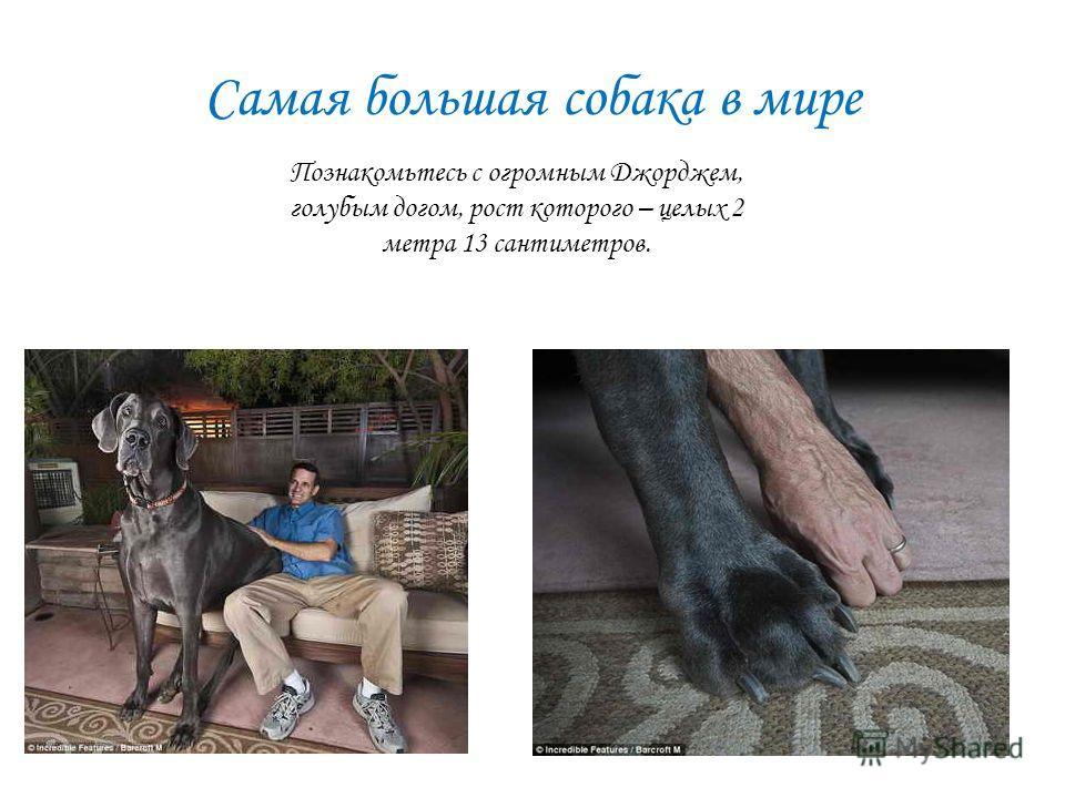Самая большая собака в мире Познакомьтесь с огромным Джорджем, голубым догом, рост которого – целых 2 метра 13 сантиметров.