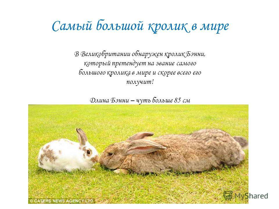 Самый большой кролик в мире В Великобритании обнаружен кролик Бэнни, который претендует на звание самого большого кролика в мире и скорее всего его получит! Длина Бэнни – чуть больше 85 см