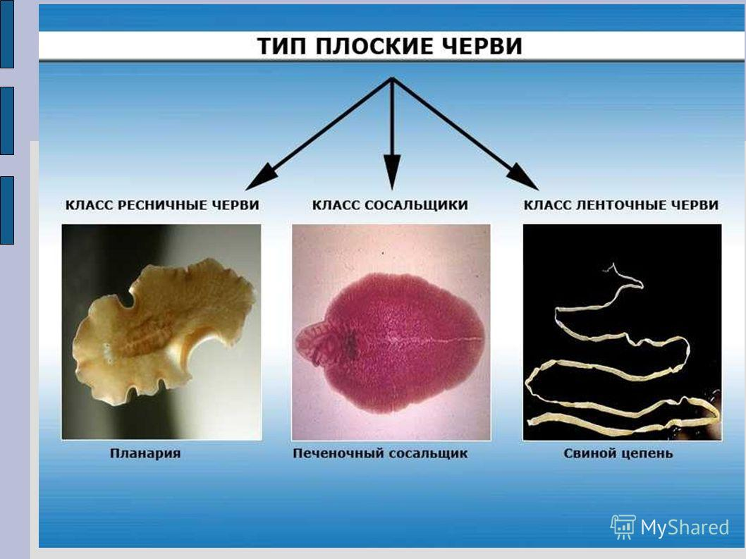 презентация о кольчатых червей