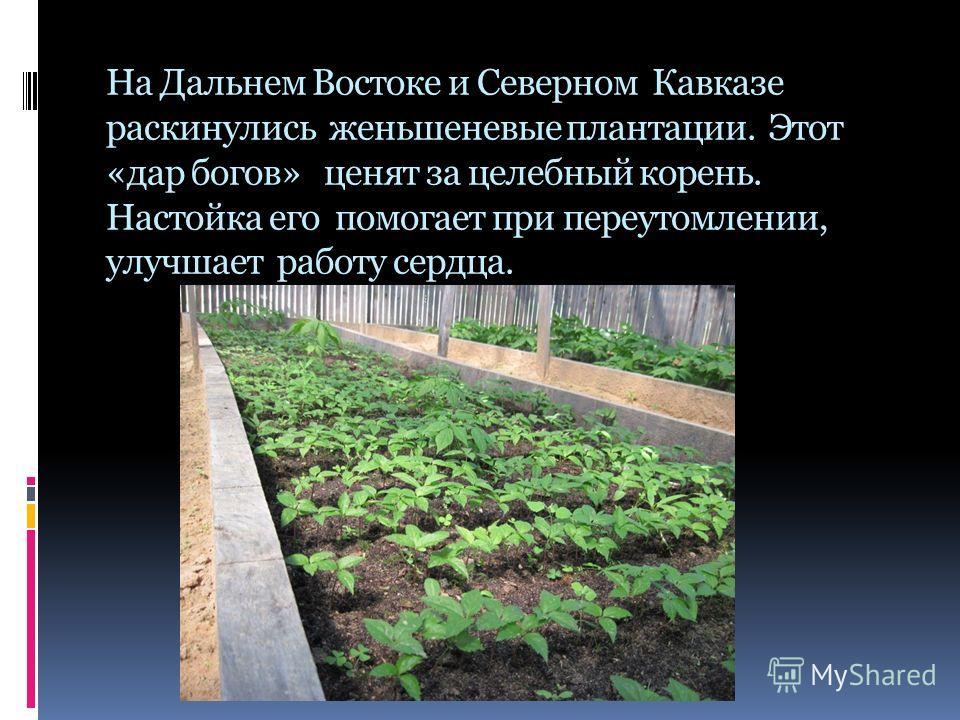 На Дальнем Востоке и Северном Кавказе раскинулись женьшеневые плантации. Этот «дар богов» ценят за целебный корень. Настойка его помогает при переутомлении, улучшает работу сердца.