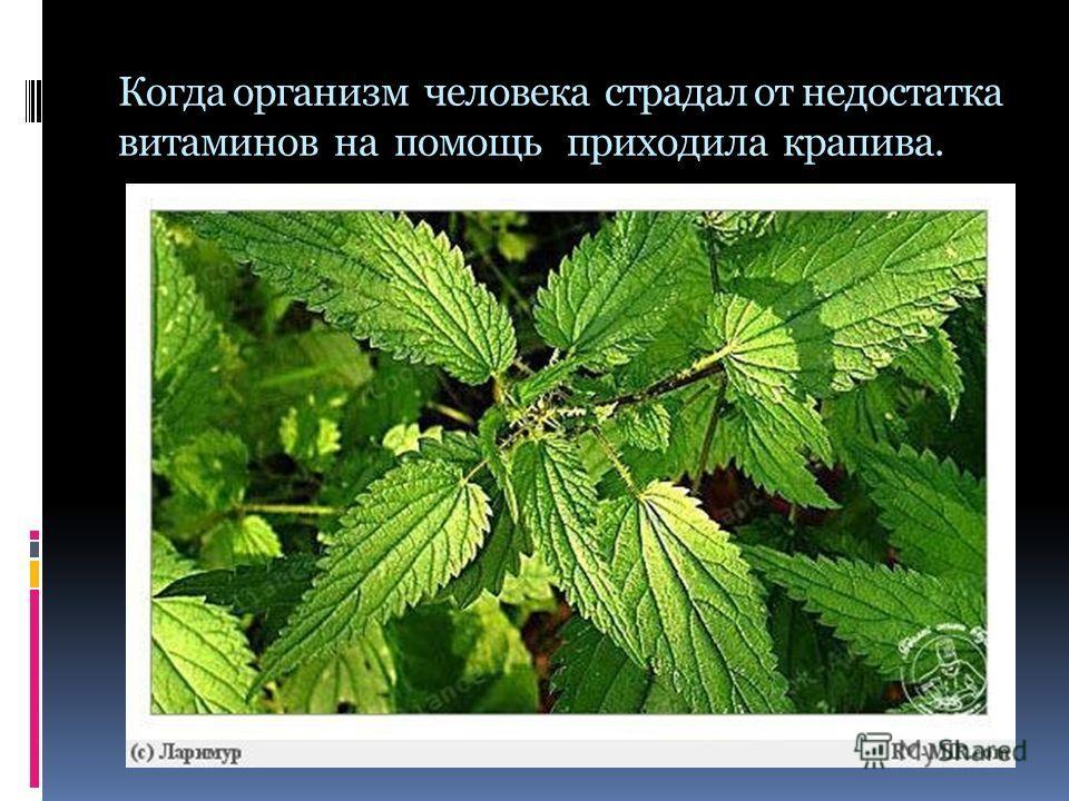 Когда организм человека страдал от недостатка витаминов на помощь приходила крапива.