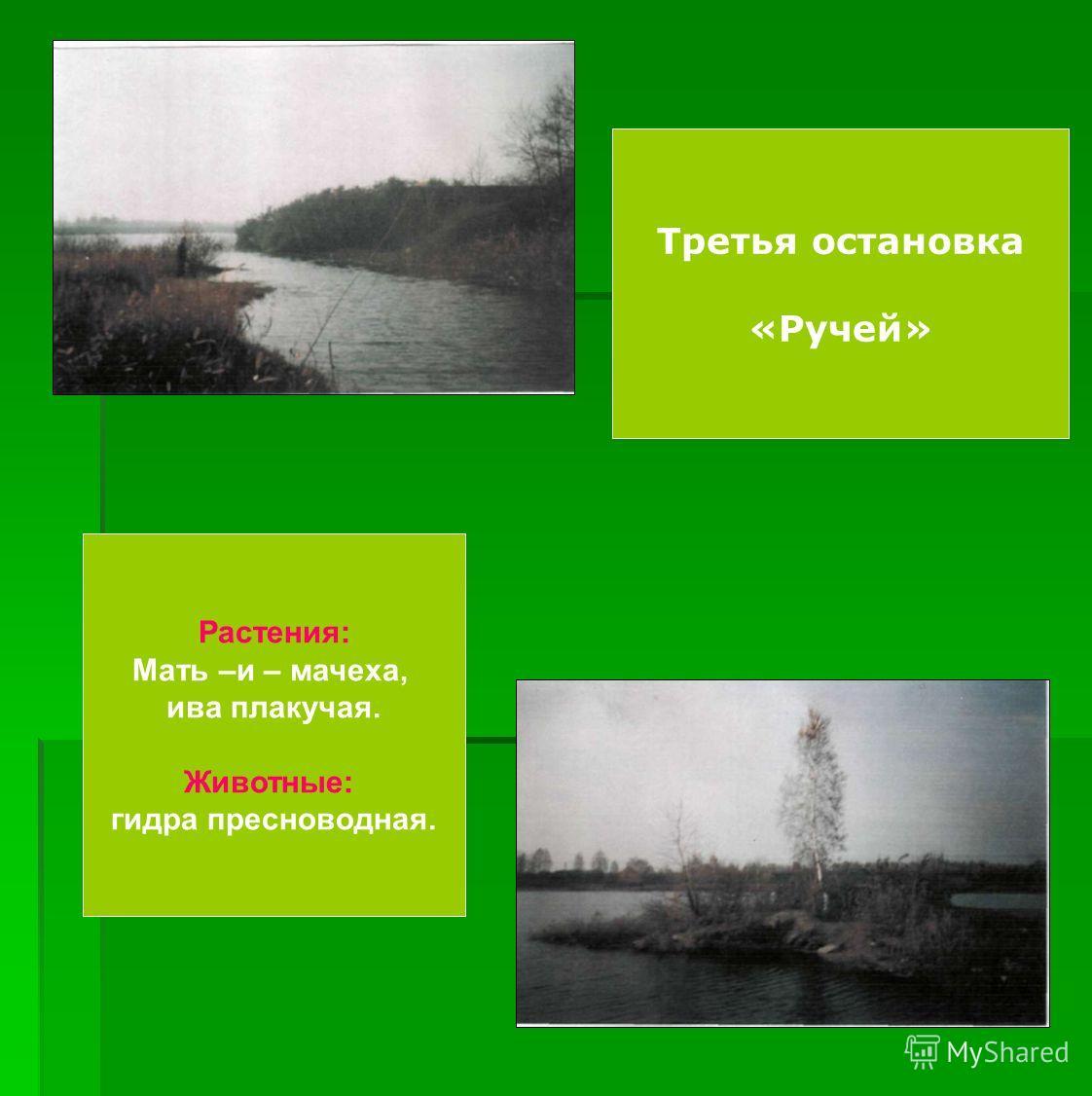 Третья остановка «Ручей» Растения: Мать –и – мачеха, ива плакучая. Животные: гидра пресноводная.