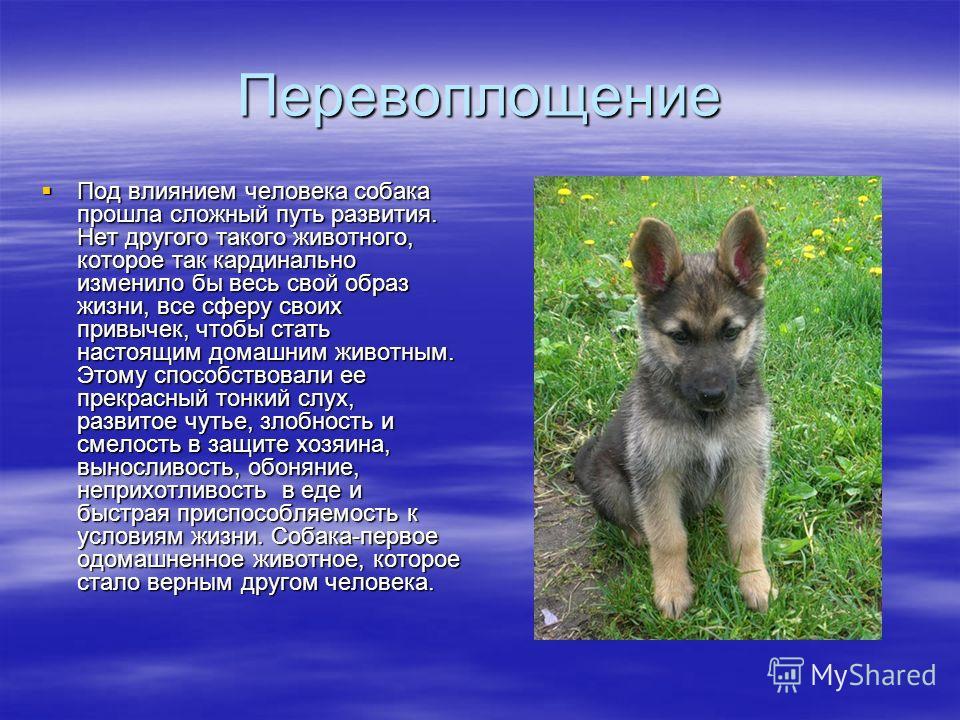 Перевоплощение Под влиянием человека собака прошла сложный путь развития. Нет другого такого животного, которое так кардинально изменило бы весь свой образ жизни, все сферу своих привычек, чтобы стать настоящим домашним животным. Этому способствовали