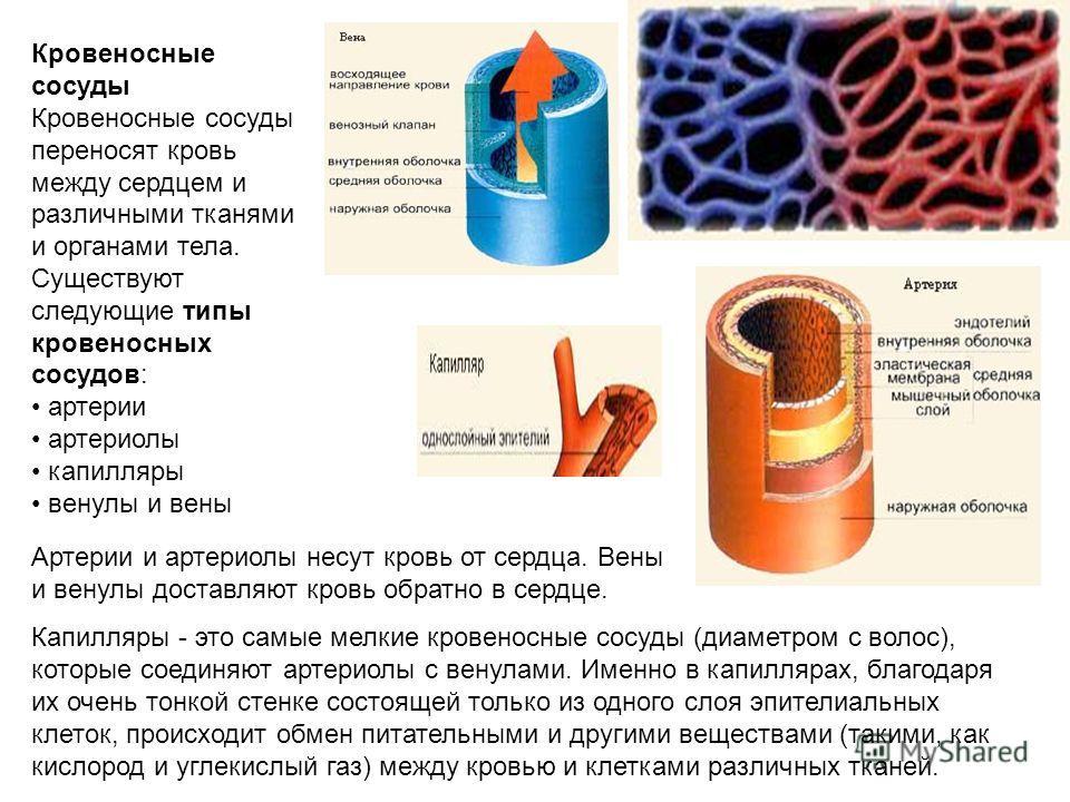 Кровеносные сосуды Кровеносные сосуды переносят кровь между сердцем и различными тканями и органами тела. Существуют следующие типы кровеносных сосудов: артерии артериолы капилляры венулы и вены Артерии и артериолы несут кровь от сердца. Вены и венул
