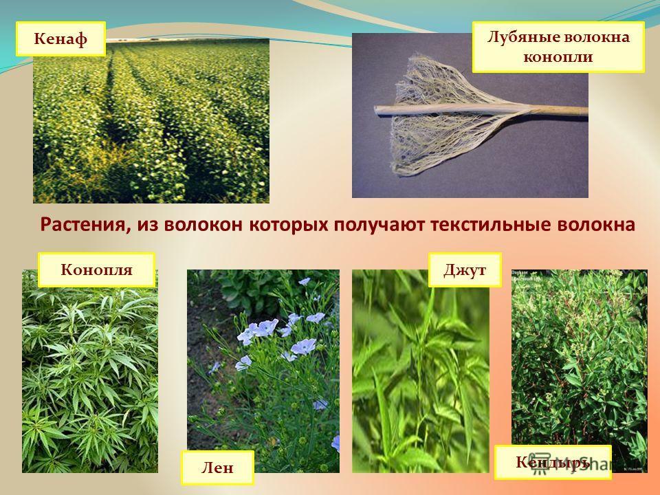 Растения, из волокон которых получают текстильные волокна Лубяные волокна конопли Конопля Лен Джут Кендырь Кенаф