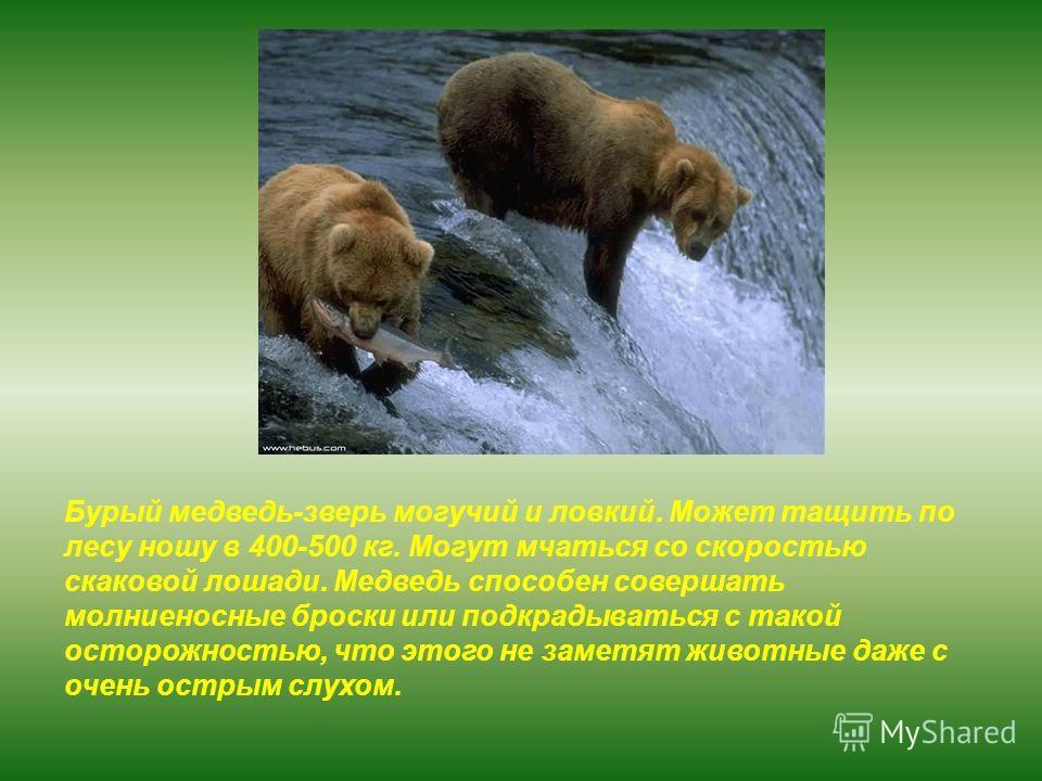 Бурый медведь-зверь могучий и ловкий. Может тащить по лесу ношу в 400-500 кг. Могут мчаться со скоростью скаковой лошади. Медведь способен совершать молниеносные броски или подкрадываться с такой осторожностью, что этого не заметят животные даже с оч