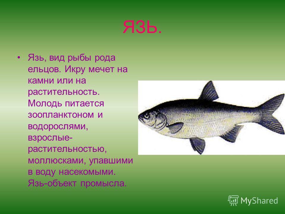 ЯЗЬ. Язь, вид рыбы рода ельцов. Икру мечет на камни или на растительность. Молодь питается зоопланктоном и водорослями, взрослые- растительностью, моллюсками, упавшими в воду насекомыми. Язь-объект промысла.