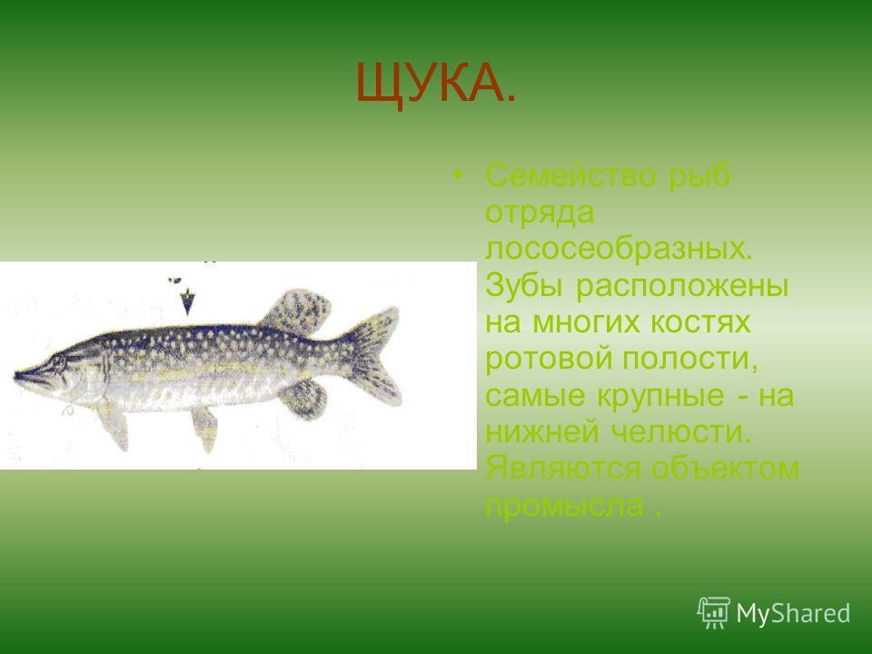ЩУКА. Семейство рыб отряда лососеобразных. Зубы расположены на многих костях ротовой полости, самые крупные - на нижней челюсти. Являются объектом промысла.