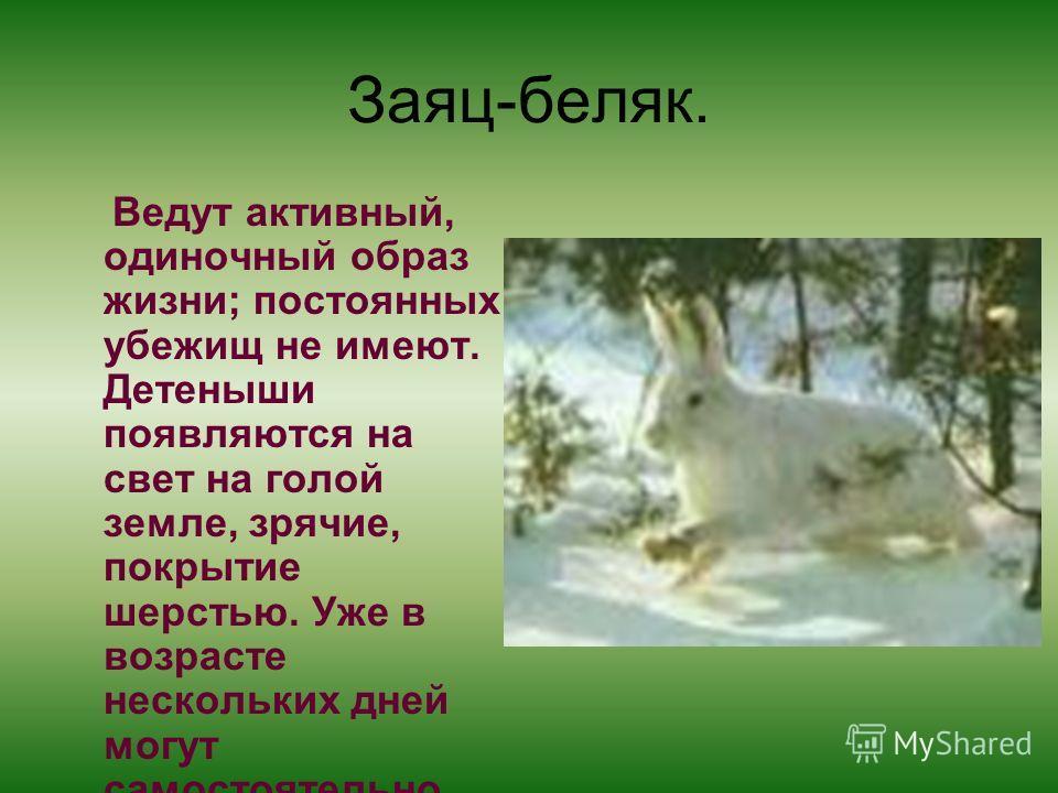 Заяц-беляк. Ведут активный, одиночный образ жизни; постоянных убежищ не имеют. Детеныши появляются на свет на голой земле, зрячие, покрытие шерстью. Уже в возрасте нескольких дней могут самостоятельно передвигаться.