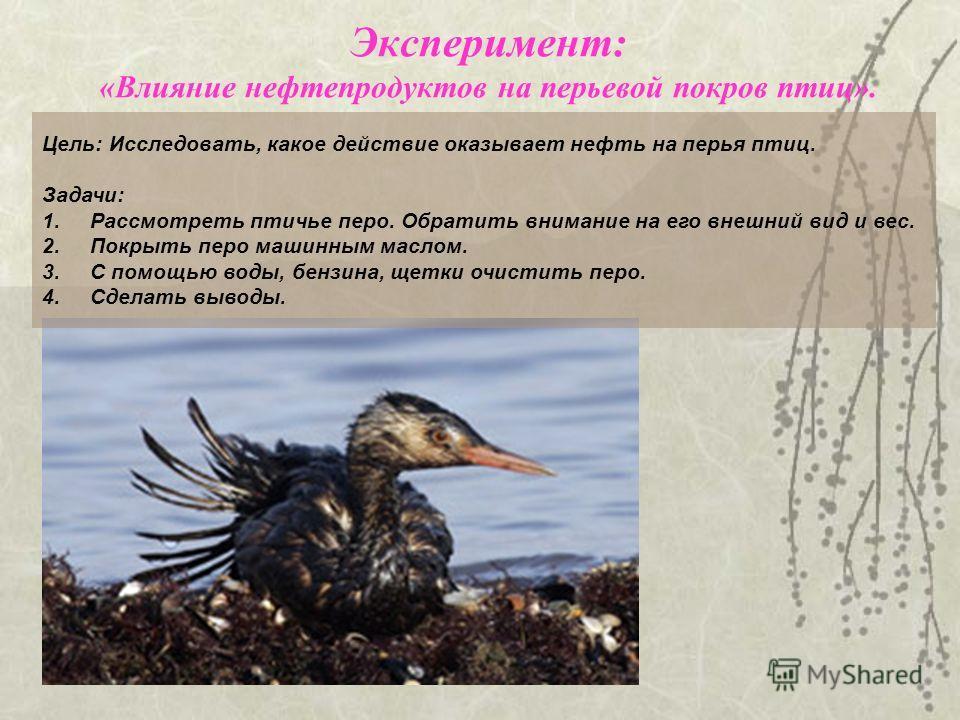 Цель: Исследовать, какое действие оказывает нефть на перья птиц. Задачи: 1.Рассмотреть птичье перо. Обратить внимание на его внешний вид и вес. 2.Покрыть перо машинным маслом. 3.С помощью воды, бензина, щетки очистить перо. 4.Сделать выводы. Эксперим