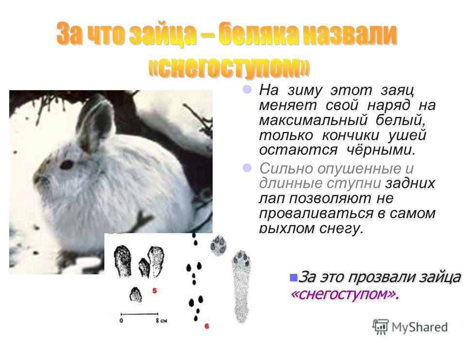 На зиму этот заяц меняет свой наряд на максимальный белый, только кончики ушей остаются чёрными. Сильно опушенные и длинные ступни задних лап позволяют не проваливаться в самом рыхлом снегу. За это прозвали зайца «снегоступом». За это прозвали зайца