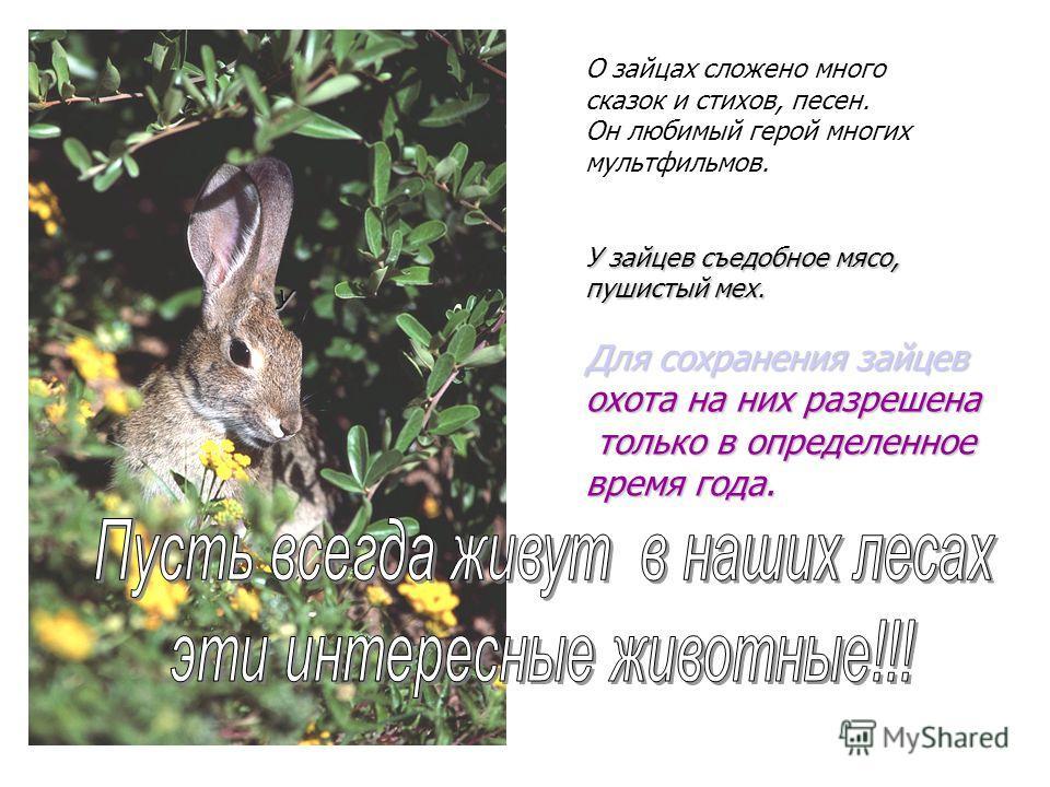 О зайцах сложено много сказок и стихов, песен. Он любимый герой многих мультфильмов. У зайцев съедобное мясо, пушистый мех. Для сохранения зайцев охота на них разрешена только в определенное только в определенное время года. У