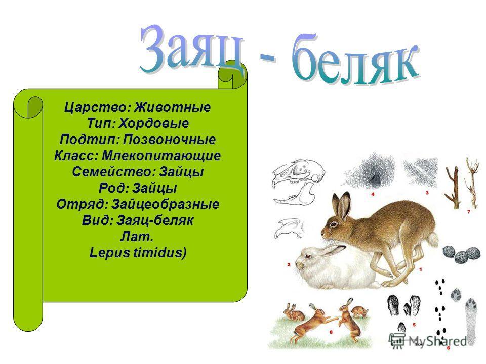 Царство: Животные Тип: Хордовые Подтип: Позвоночные Класс: Млекопитающие Семейство: Зайцы Род: Зайцы Отряд: Зайцеобразные Вид: Заяц-беляк Лат. Lepus timidus)