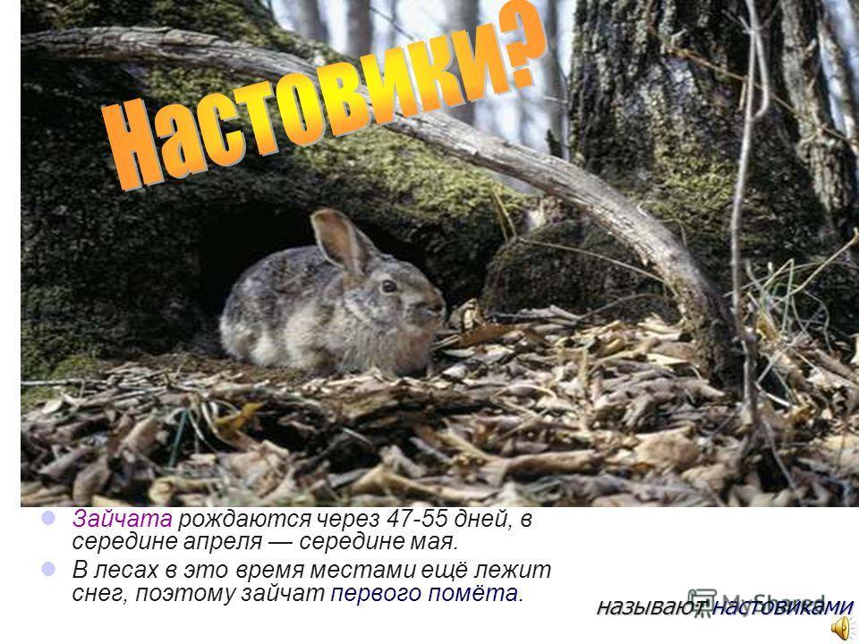 Зайчата рождаются через 47-55 дней, в середине апреля середине мая. В лесах в это время местами ещё лежит снег, поэтому зайчат первого помёта. называют настовиками