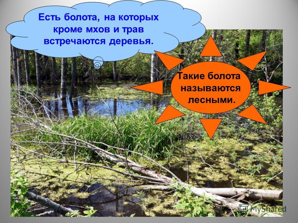 Есть болота, на которых кроме мхов и трав встречаются деревья. Такие болота называются лесными.
