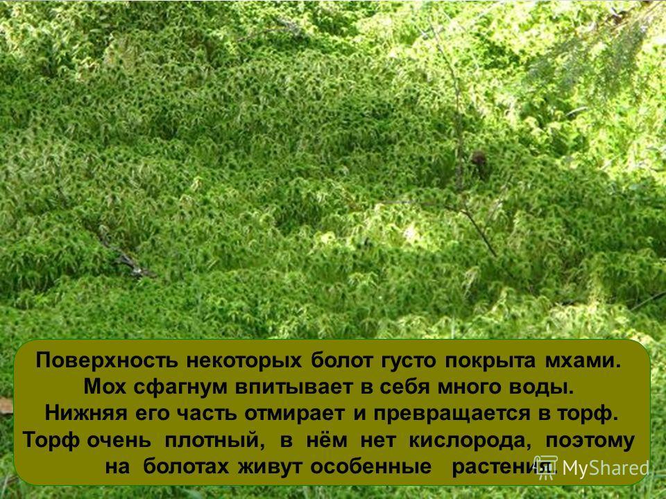 Поверхность некоторых болот густо покрыта мхами. Мох сфагнум впитывает в себя много воды. Нижняя его часть отмирает и превращается в торф. Торф очень плотный, в нём нет кислорода, поэтому на болотах живут особенные растения.