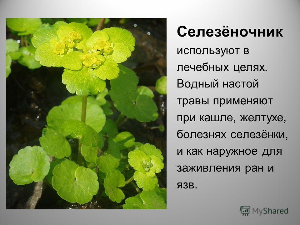 Селезёночник используют в лечебных целях. Водный настой травы применяют при кашле, желтухе, болезнях селезёнки, и как наружное для заживления ран и язв.